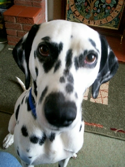 Pet psychologist dalmation